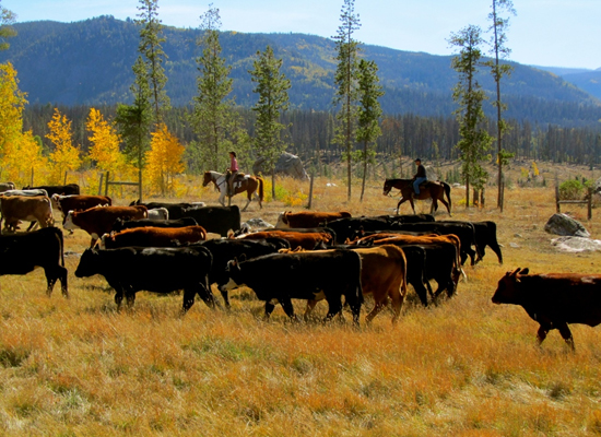 Vista Verde cattle drive