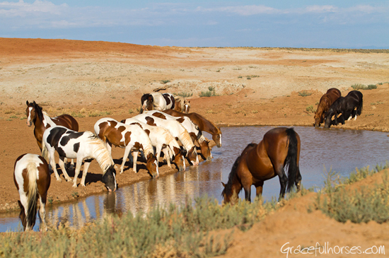 White mustangs at water hole Wyoming