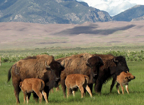 Bison on Zapata Ranch