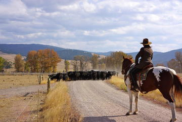 montana cattle drive